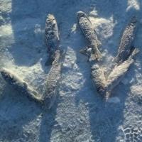 Рыбак выложил слово «Омск» выловленной рыбой