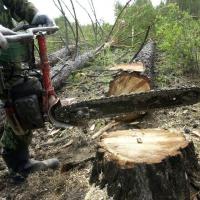 Прокурор утвердил обвинительное заключение в отношении группы «черных лесорубов» в Омской области