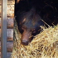 В Большереченском зоопарке уснул первый медведь