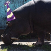 Бегемот-именинник получил от сотрудников Большереченского зоопарка хлебно-свекольный торт