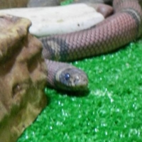 В детском зоопарке Омска появилась молочная змея