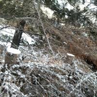В Омском аграрном университете неизвестные вырубили елочки