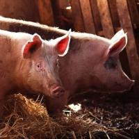 Мужчина сел на 17 лет за то, что скормил омского фермера свиньям