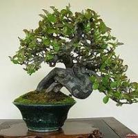 Бизнес-идея: выращивание японского дерева бонсай
