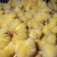 Жителям Омской области снова подарили цыплят