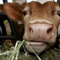 В Омской области забивать скот будут гуманнее