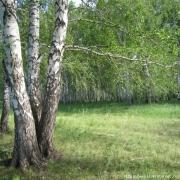 На омских лесах бюджет заработал 67 миллионов за год
