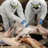 Чума свиней вновь напомнила о себе в Омской области