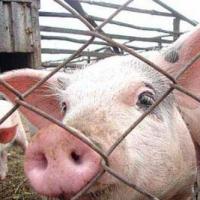 Из-за АЧС в колониях Омской области уничтожат всех свиней