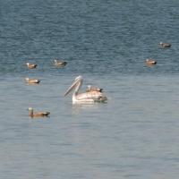 На искусственный остров в Омскую область прилетело более 30 кудрявых пеликанов