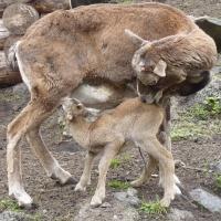Четверо уриалов появились на свет в Большереченском зоопарке