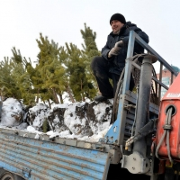 Вдоль улицы Богдана Хмельницкого высадили сосны