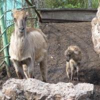В Большереченском зоопарке у гималайских таров появился малыш