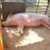 В Омском районе работник фермы подъедал свиней