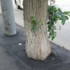 В центре Омска дорожники не оставили тополям и сантиметра для жизни