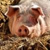 Пострадавшим от чумы свиней фермерам выплатили уже почти 4 млн рублей