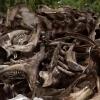 Жители деревни в Омской области  наткнулись на скотомогильник