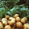 Омская картошка собирается потеснить голландскую