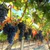 Омский медиамагнат собрался стать французским виноделом