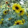 В Омске ко Дню города высадят карликовые подсолнухи