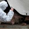 В Щербакульском районе Омской области продолжают выжигать свиней