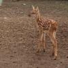 Маленьки оленята из Большереченского зоопарка вышли в люди