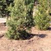Омская область стала зеленее на 35,5 тысяч молодых деревьев