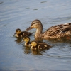Омичей просят не подкармливать водоплавающих птиц