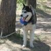 В Омске соберутся любители и профессионалы гонок на собачьих упряжках