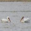 Пеликаны нашли в Омской области рыбное озеро