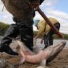 В омском речном порту рыбаки ловили краснокнижных стерлядок и осетров