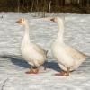 У омского селянина украли двух гусей