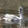 В Омске раненый лебедь не смог восстановиться за зиму