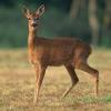 В Омской области браконьерам грозит наказание за косуль