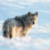 В Омской области стало много волков