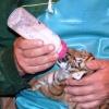 В Большереченском зоопарке Омской области родились амурские тигрята