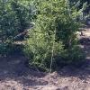 С 2017 года за снос дерева придется заплатить восстановительную стоимость в бюджет Омска