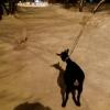 В Омске собаки с удовольствием выгуливают камерунскую козу