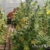 Работник рынка под Омском выращивал наркосодержащие растения