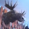 Браконьеры убили двух лосей в Омской области