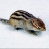 В Омской области собираются спасать бурундуков от вымирания