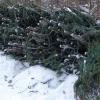 В Омской области заготовят 45 тысяч новогодних деревьев