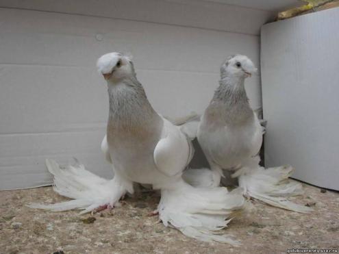 Омские следователи ищут 40 похищенных голубей узбекской породы