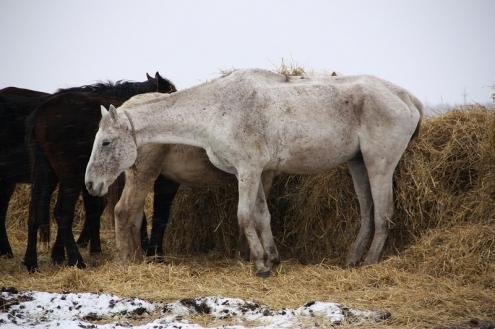 Прокуратура заинтересовалась гибелью лошадей в Любинском районе