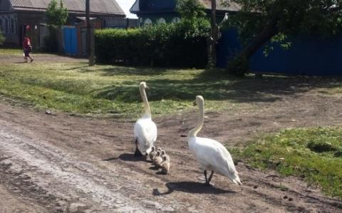 Краснокнижные лебеди с потомством прошли по Исилькулю
