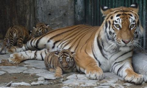 В Большереченском зоопарке родились тигрята