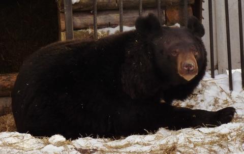 В Большереченском зоопарке первым проснулся гималайский мишка