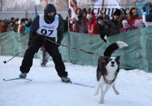 Омские любители хаски устроили гонки на упряжках