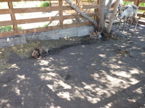 В Большереченском зоопарке у северных оленей родились малыши