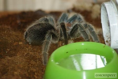 Омичка держит в страхе целый дом из-за огромного мохнатого паука